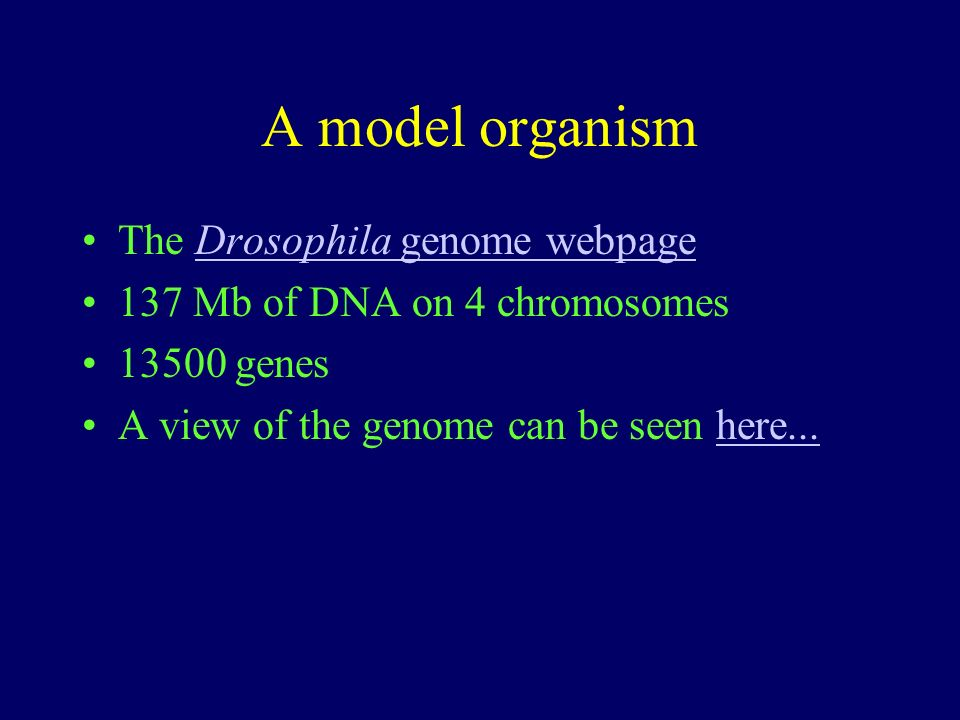 A model organism The Drosophila genome webpageDrosophila genome webpage 137 Mb of DNA on 4 chromosomes 13500 genes A view of the genome can be seen here...here...