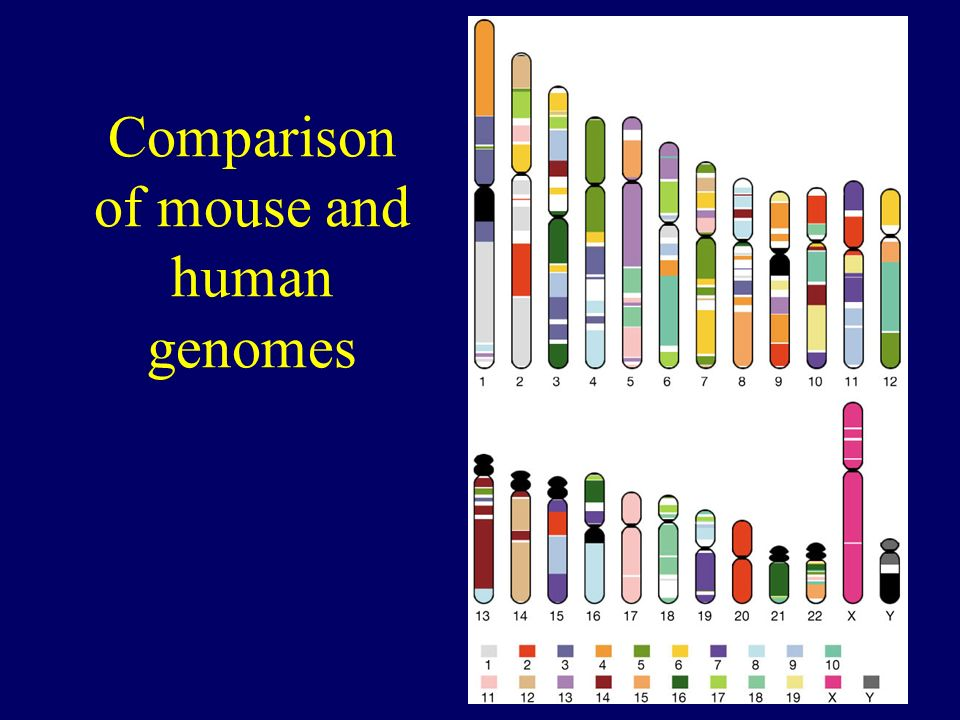 Comparison of mouse and human genomes