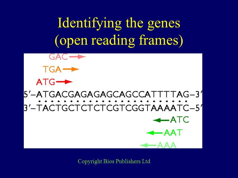 Identifying the genes (open reading frames) Copyright Bios Publishers Ltd