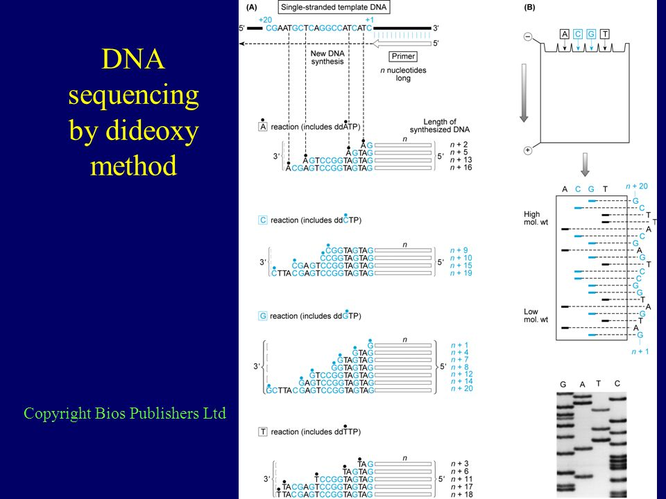 DNA sequencing by dideoxy method Copyright Bios Publishers Ltd