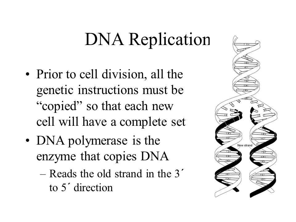 DNA Replication Prior to cell division, all the genetic instructions must be copied so that each new cell will have a complete set DNA polymerase is the enzyme that copies DNA –Reads the old strand in the 3´ to 5´ direction