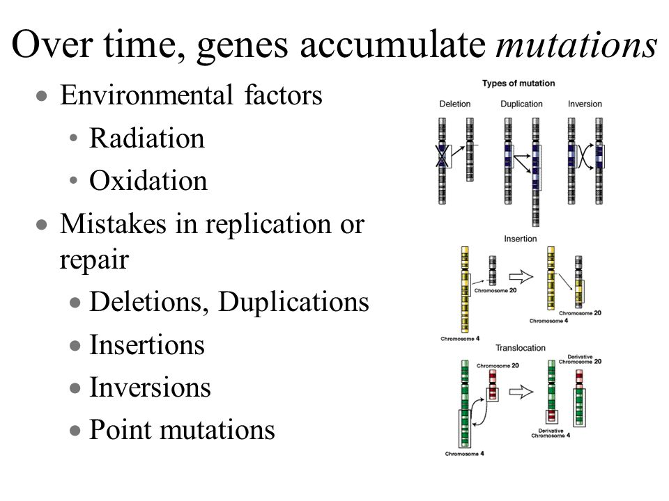 Over time, genes accumulate mutations Environmental factors Radiation Oxidation Mistakes in replication or repair Deletions, Duplications Insertions Inversions Point mutations