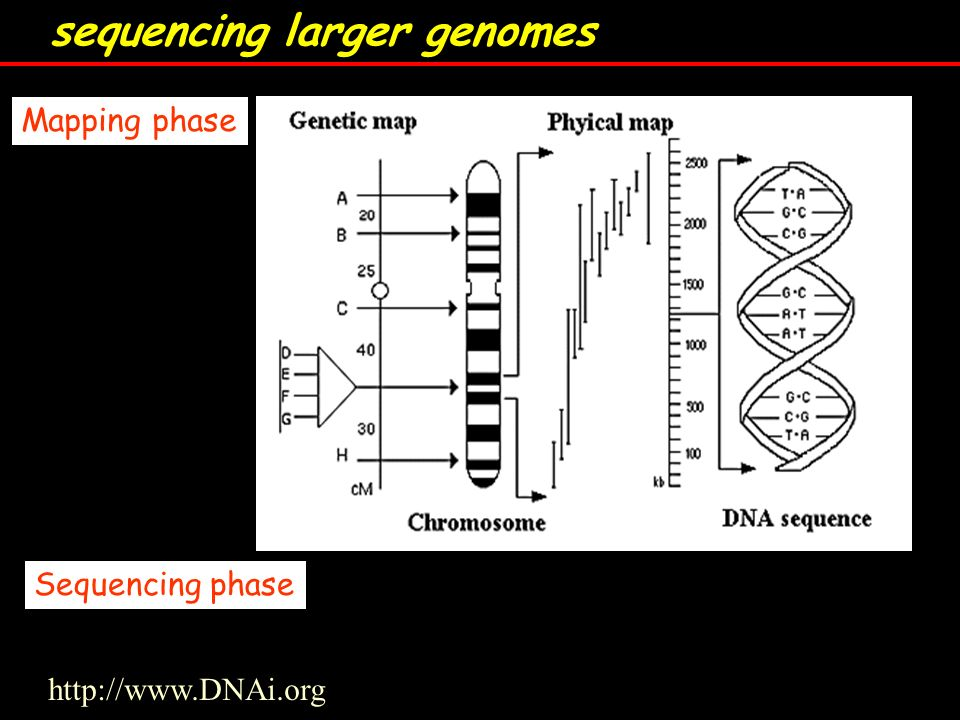 sequencing larger genomes Mapping phase Sequencing phase http://www.DNAi.org