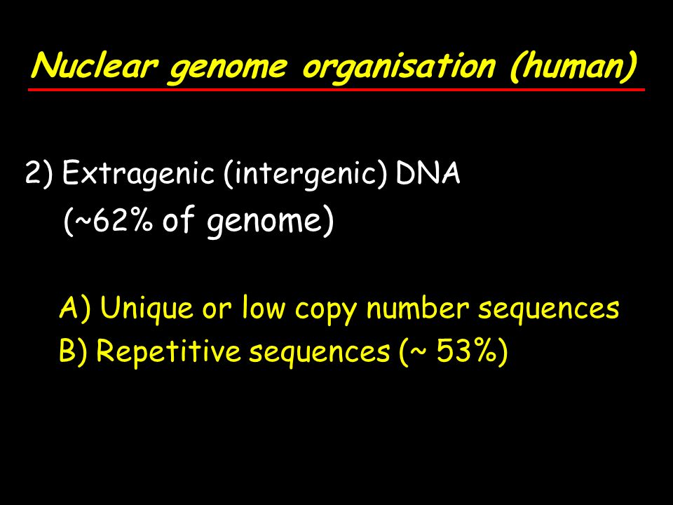 2) Extragenic (intergenic) DNA (~62% of genome) A) Unique or low copy number sequences B) Repetitive sequences (~ 53%)