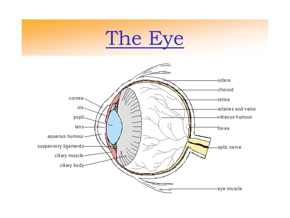 The Eye Rods And Cones The Eye Is Made Of Cells That Are Called