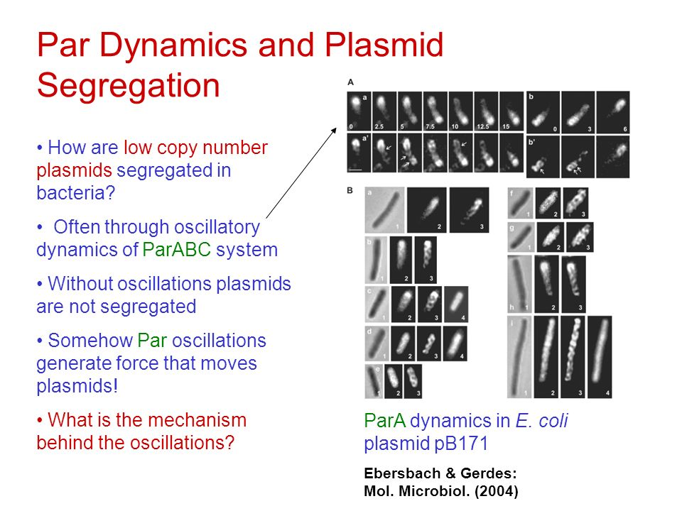 Par Dynamics and Plasmid Segregation How are low copy number plasmids segregated in bacteria.