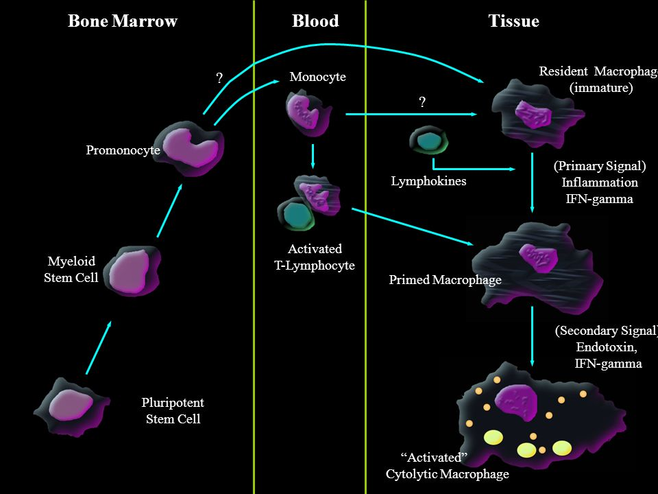 Bone MarrowBloodTissue Pluripotent Stem Cell Myeloid Stem Cell Activated Cytolytic Macrophage Primed Macrophage Resident Macrophage (immature) Activated T-Lymphocyte Promonocyte (Primary Signal) Inflammation IFN-gamma (Secondary Signal) Endotoxin, IFN-gamma Lymphokines .