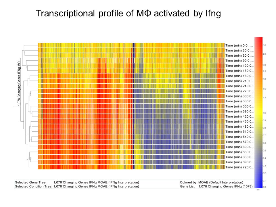 Transcriptional profile of MΦ activated by Ifng