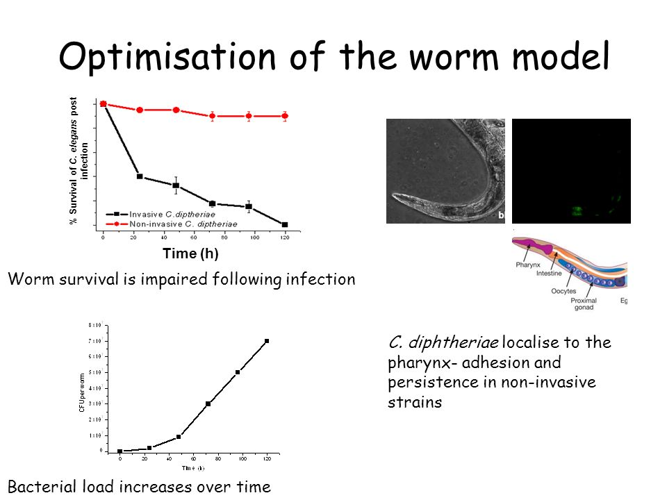 Optimisation of the worm model Time (h) % Survival of C.
