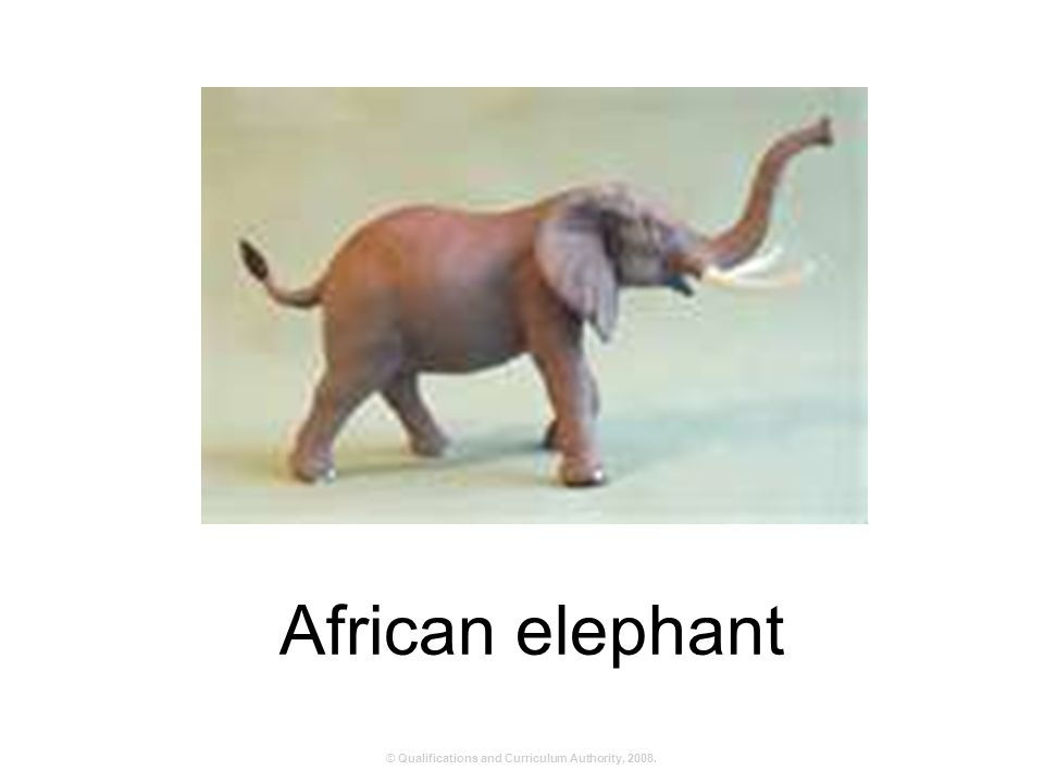 © Qualifications and Curriculum Authority, 2008. African elephant