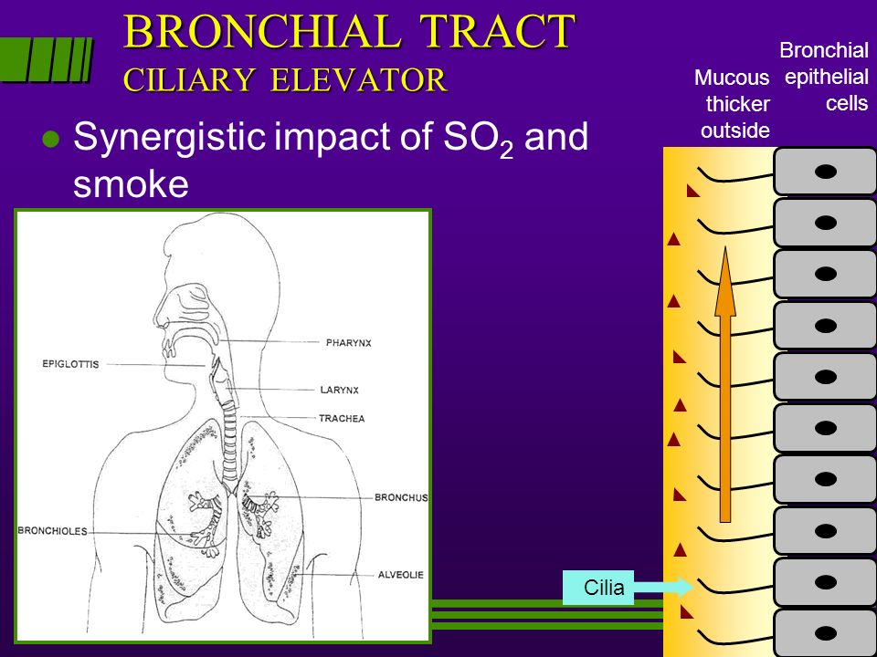 BRONCHIAL TRACT CILIARY ELEVATOR l Synergistic impact of SO 2 and smoke Bronchial epithelial cells Mucous thicker outside Cilia