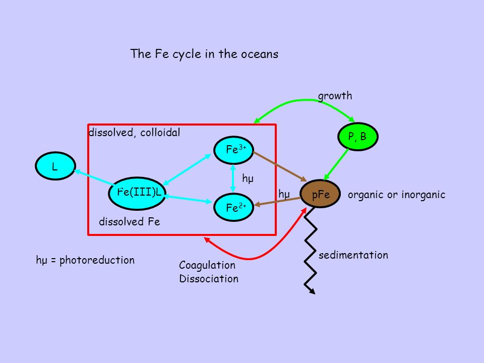 The Fe cycle in the oceans Fe(III)L Fe 2+ Fe 3+ pFe dissolved Fe hμhμ P, B organic or inorganic sedimentation Coagulation Dissociation L growth hμhμ hμ = photoreduction dissolved, colloidal