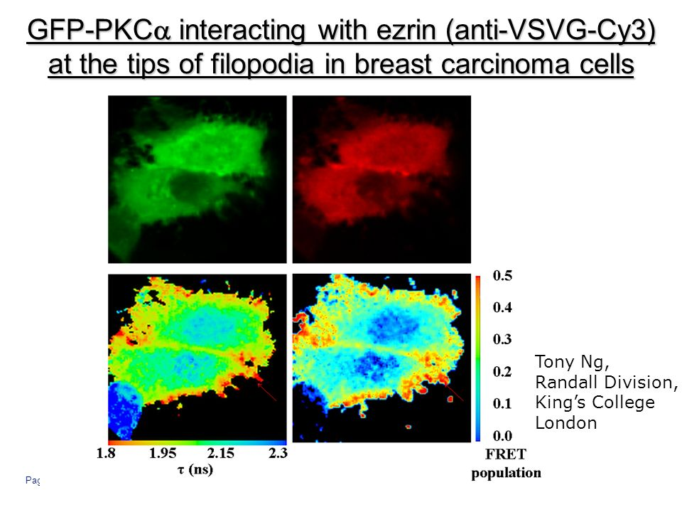 Page 15 GFP-PKC interacting with ezrin (anti-VSVG-Cy3) at the tips of filopodia in breast carcinoma cells Tony Ng, Randall Division, Kings College London