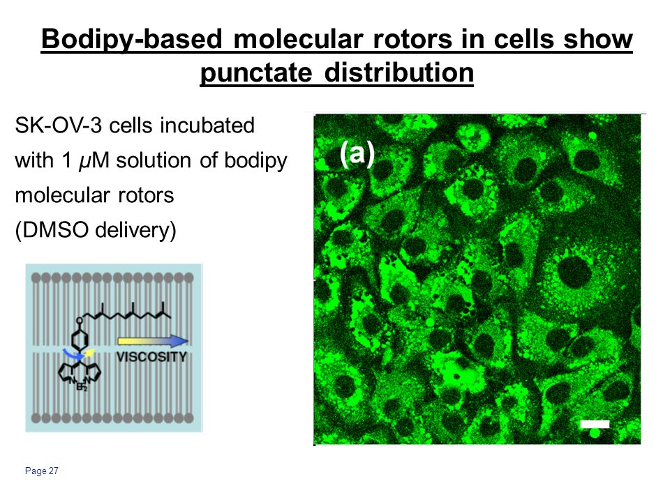 Page 27 Bodipy-based molecular rotors in cells show punctate distribution SK-OV-3 cells incubated with 1 μM solution of bodipy molecular rotors (DMSO delivery)