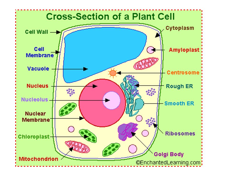 The Following Is A Glossary Of Animal Cell Anatomy Terms Ppt