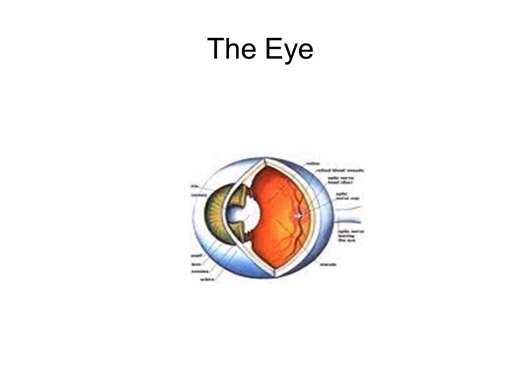 The Eye. The eye is as big as a ping pong ball and sits in a small ...