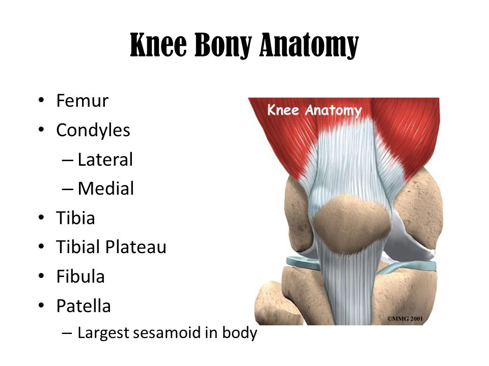 The Knee Chapter 18 Knee Bony Anatomy Femur Condyles Lateral