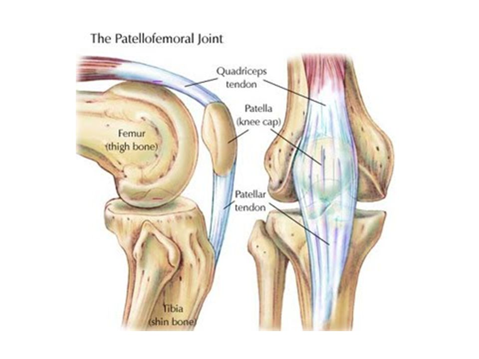 The Knee Chapter 18. Knee Bony Anatomy Femur Condyles – Lateral ...