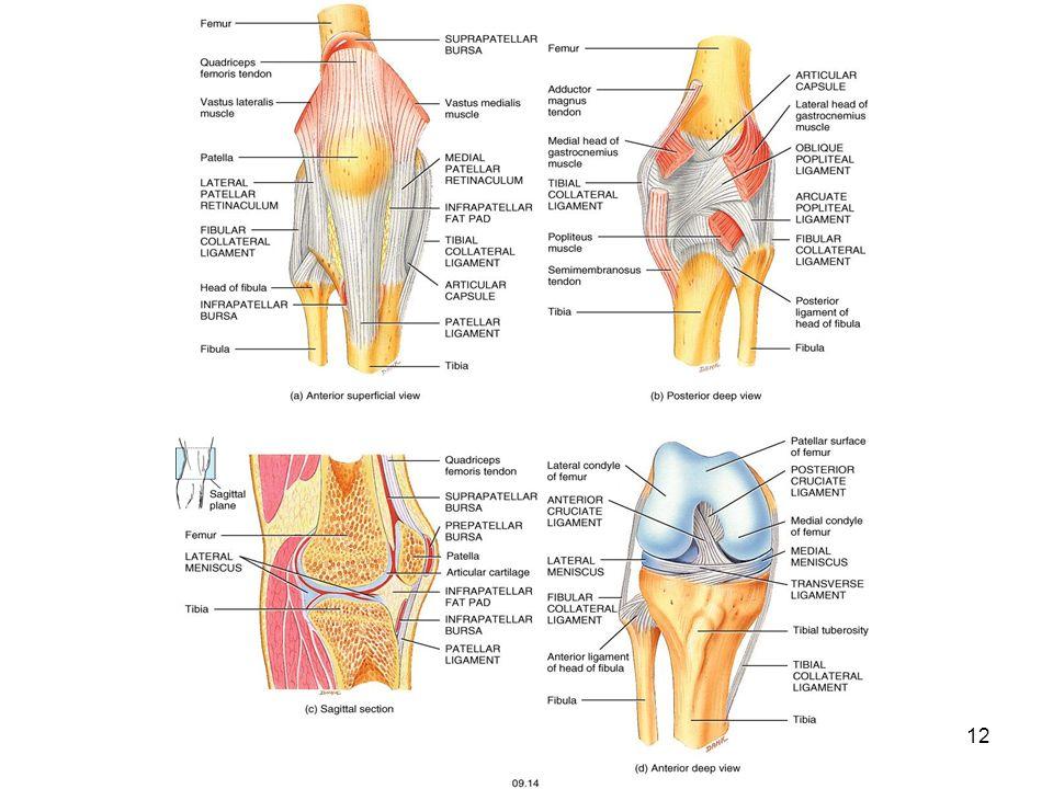 Myology Myology of the Knee. - ppt video online download