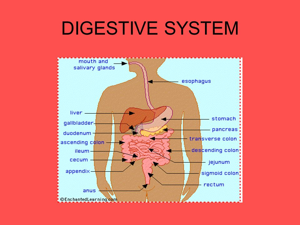 Human Digestive System Digestive System Digestion Process The Start
