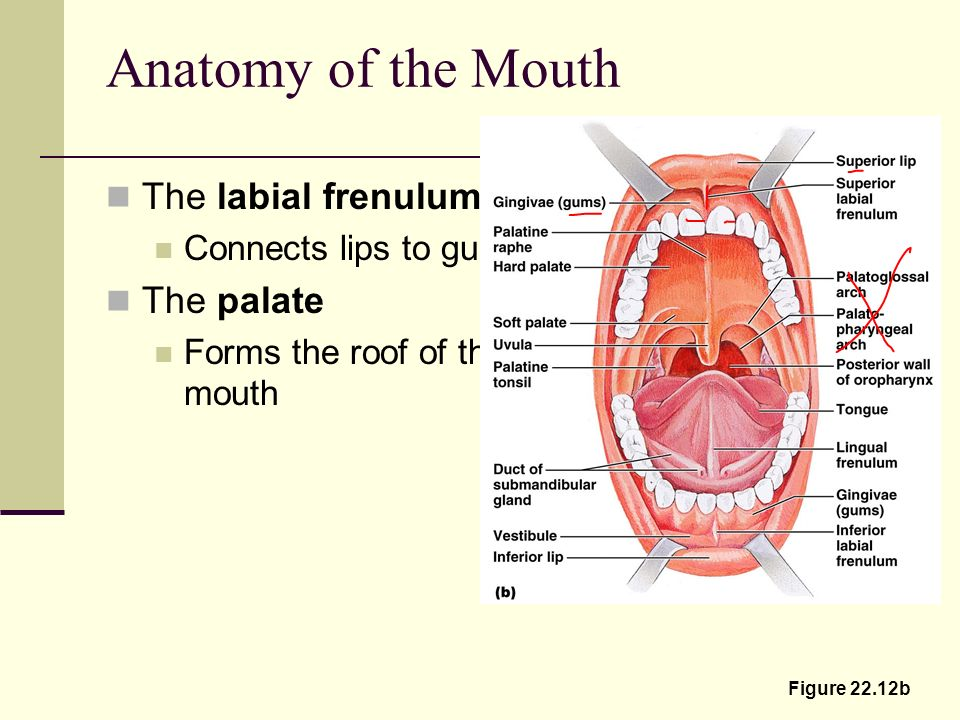 The Mouth and Associated Organs The mouth – oral cavity Mucosal ...