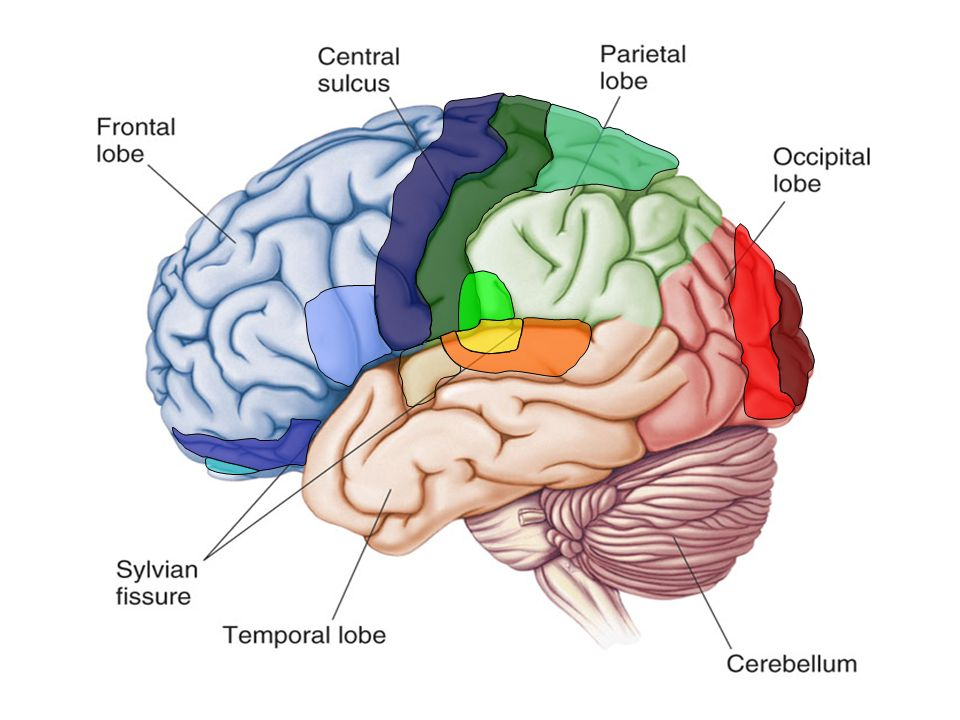 The Human Brain Master Watermark Image Ppt Downloadrhslideplayer: Primary Smell Cortex Location At Gmaili.net