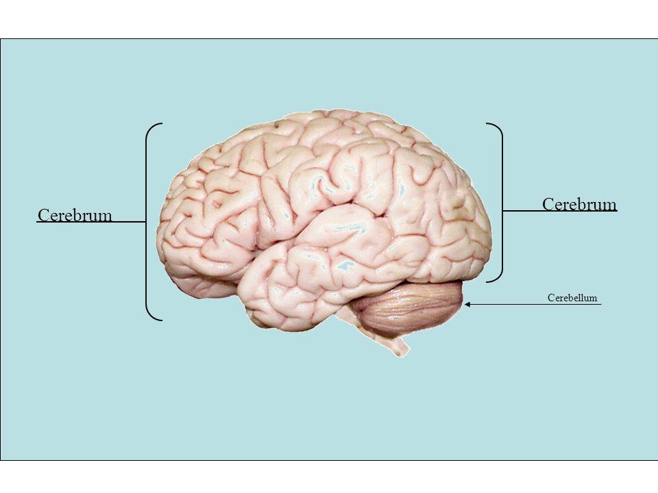 The human brain master watermark image ppt download 5 b major parts of the brain 1cerebrum 2diencephalon thalamus hypothalamus epithalamus and encloses the third ventricle 3ain stem midbrain pons ccuart Image collections