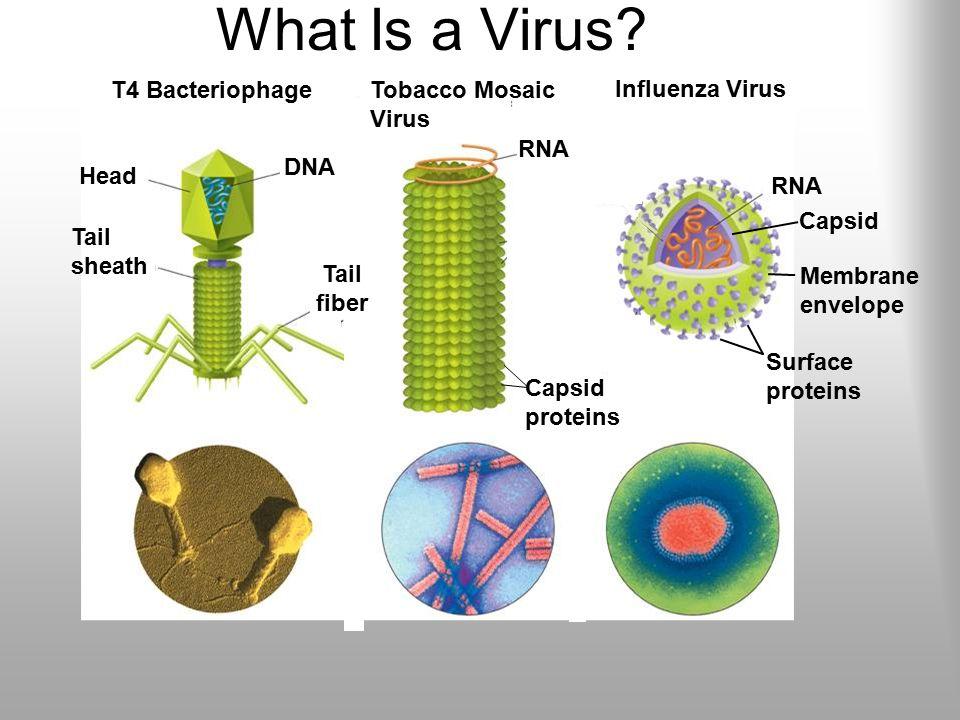 Viruses Chapter What is a virus? Viruses- microscopic