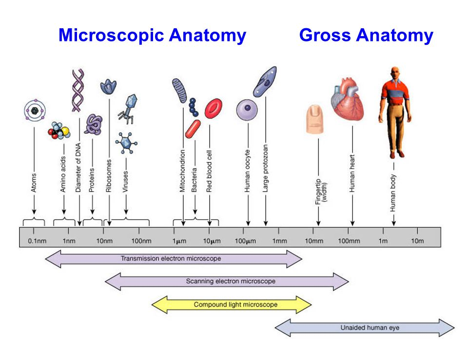 Microscopic Anatomygross Anatomy Levels Of Organization In Human
