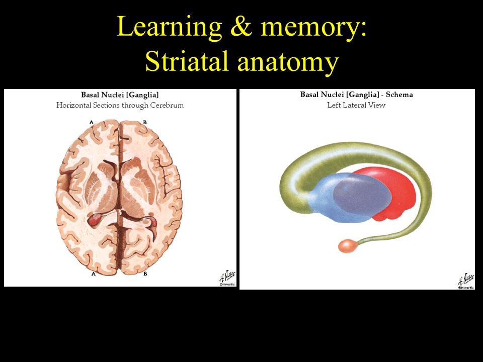 Functional Neuroanatomy Overview Of Brain Anatomy Systems