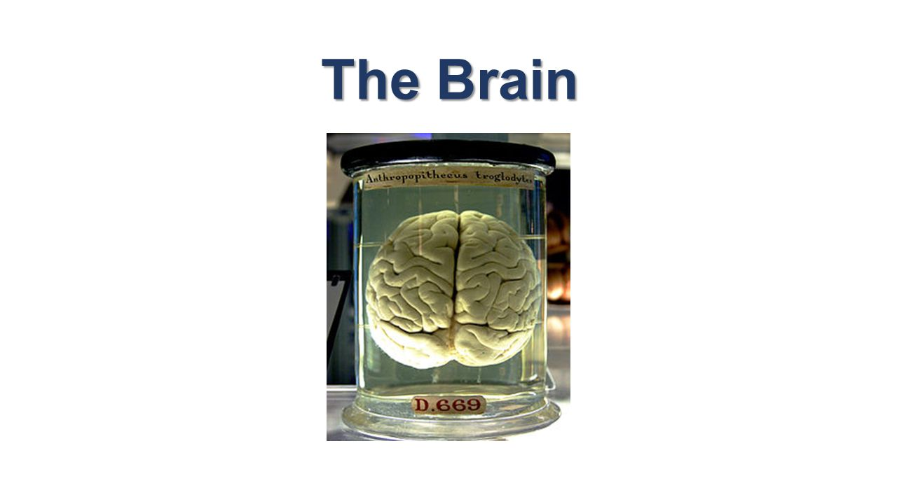 Fantástico Anatomy And Physiology Of The Brain Wikipedia Regalo ...