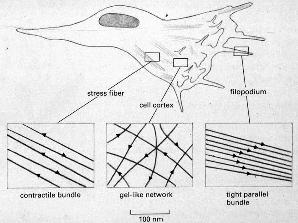 Cytoskeleton And Cell Motility Objective To Survey The Structure
