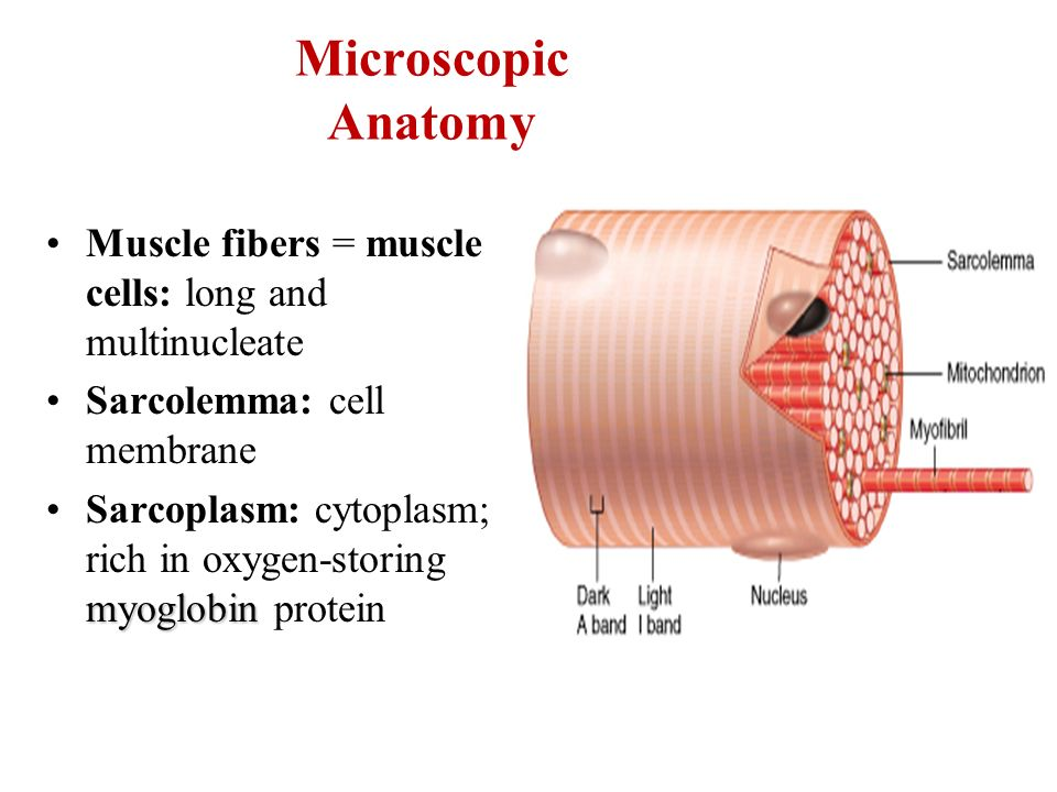 Skeletal Muscle Microscopic Anatomy Chapter 10. Microscopic Anatomy ...