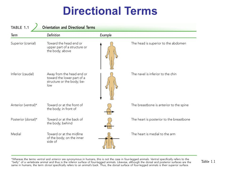 Anatomical Directional Terms and Regions. Directional Terms Superior ...