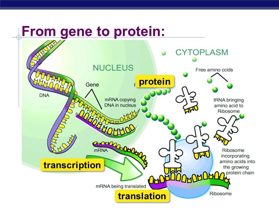Regents Biology From Gene To Protein Transcription Translation