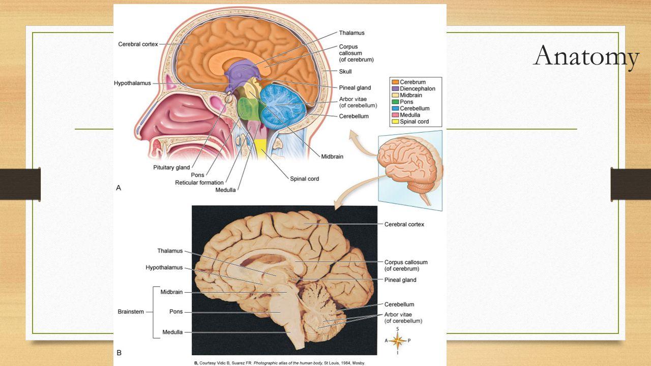 Arborvitae Anatomy Human Topsimages