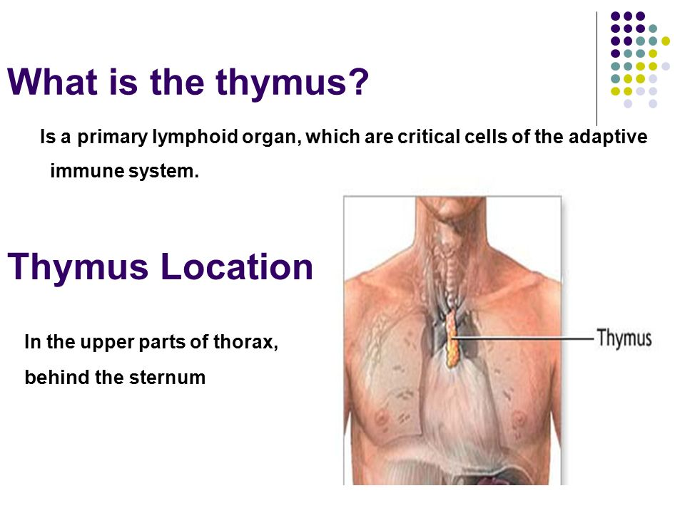 Role Of Thymus In Immunity Under Supervision Drgomaa Abdelrahim