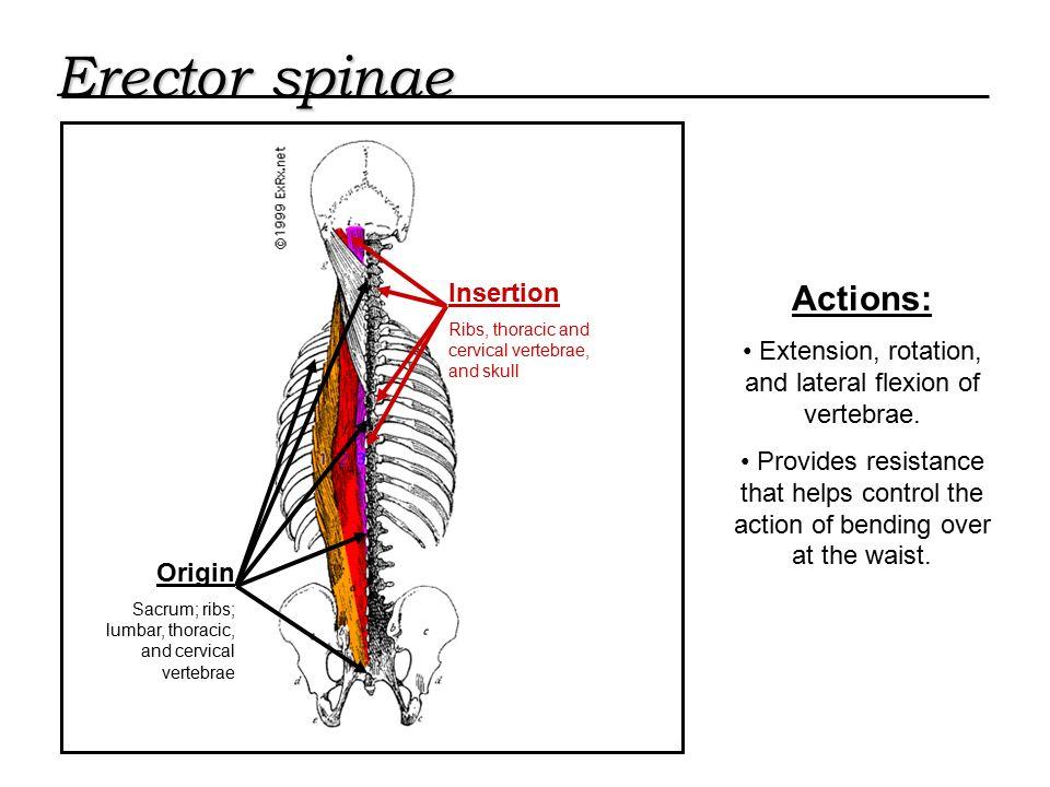 Trunk Erector Spinae Origin Sacrum Ribs Lumbar Thoracic And