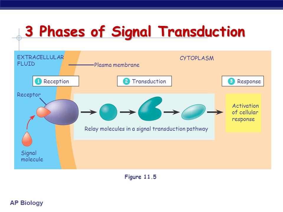 Ap biology cell communication ap biology communication methods 8 ap biology extracellular fluid receptor signal ccuart Gallery