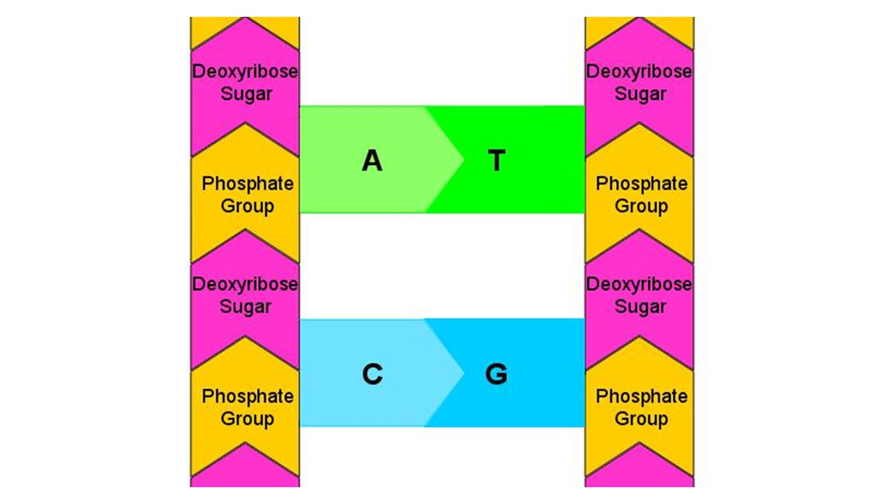 Double Helix DNA consists of two strips, made of sugars and ...