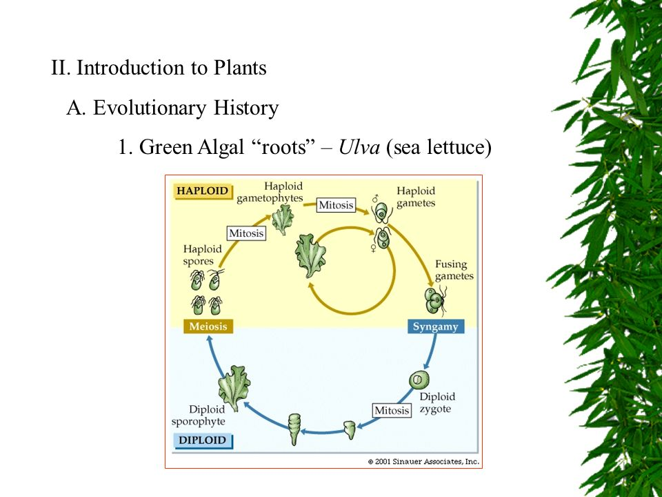 Ii introduction to plants a evolutionary history 1 green algal introduction to plants a evolutionary history 1 green algal roots ulva sea lettuce ccuart Image collections