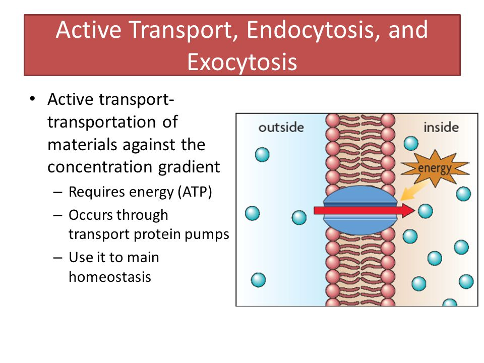 Active Transport, Endocytosis, and Exocytosis Active transport- transportation of materials against the concentration gradient – Requires energy (ATP) – Occurs through transport protein pumps – Use it to main homeostasis
