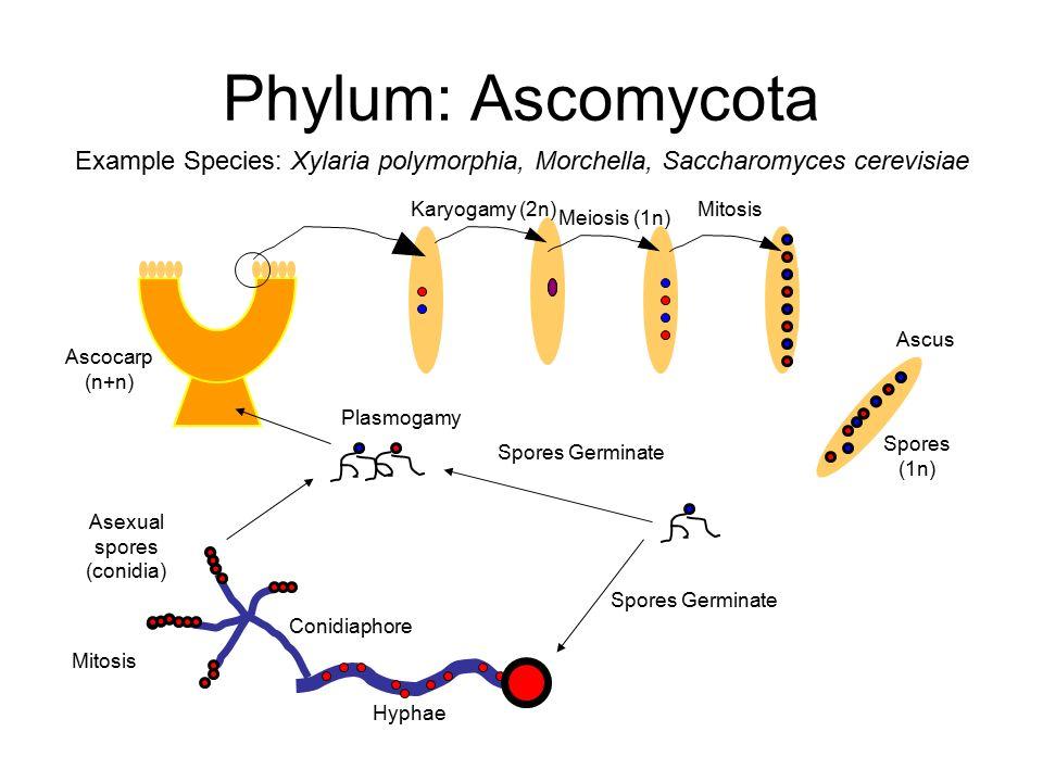 Plasmogamy in basidiomycota asexual reproduction