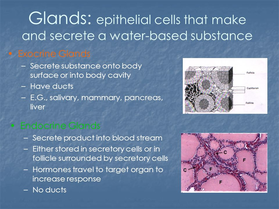 Glands Epithelial Cells That Make And Secrete A Water Based