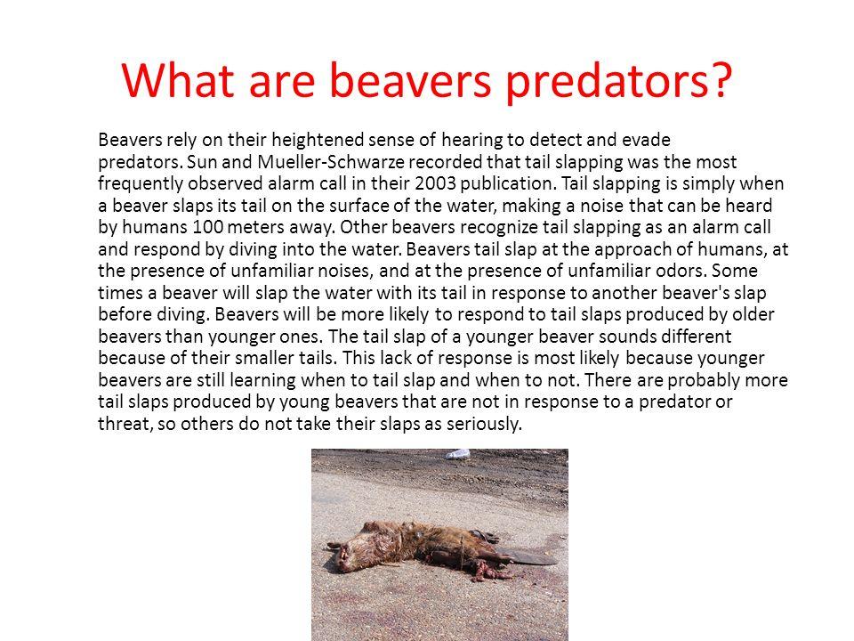 Beavers What do beavers eat? What are beavers predators? Where do ...