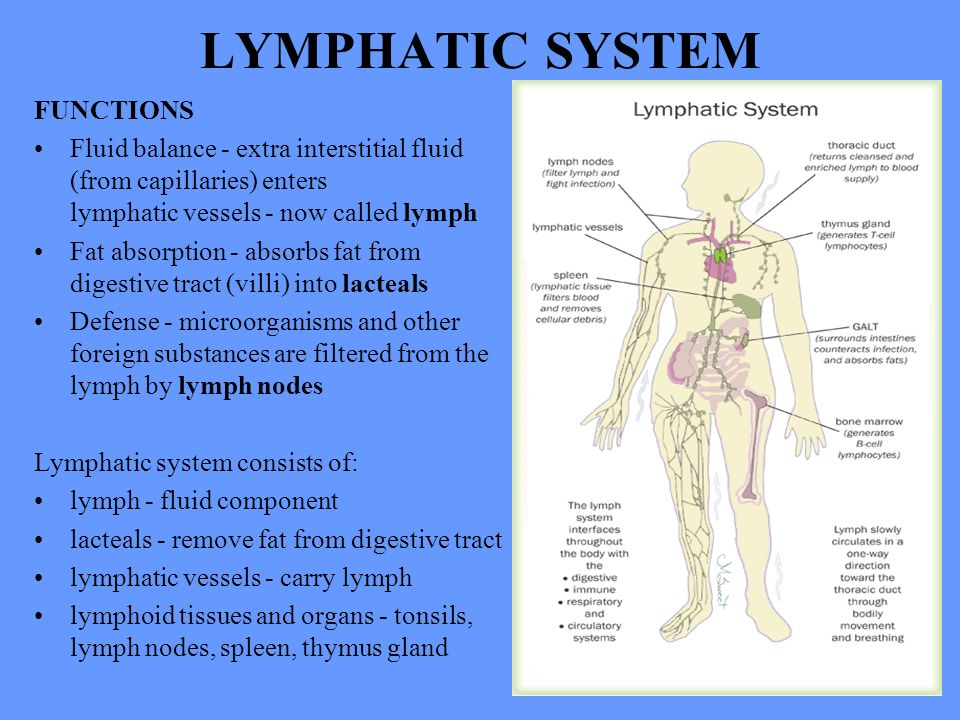 Human Anatomy Lecture Seventeen Lymphatic System Ppt Download
