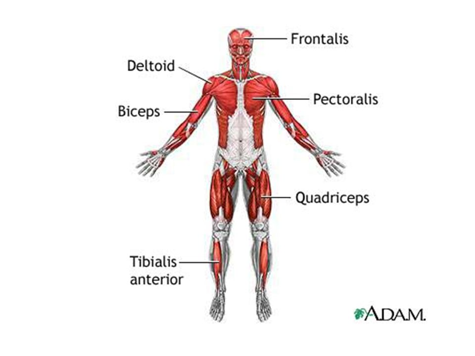 The Muscular System Or Everything You Ever Wanted To Know About