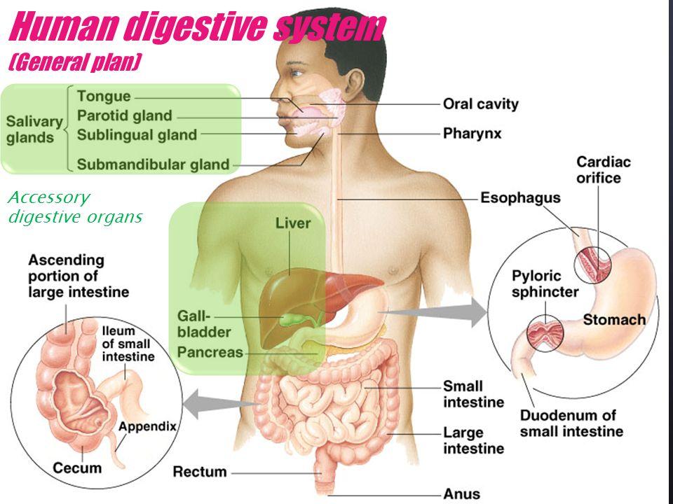 Human Digestion Human Digestive System General Plan Accessory