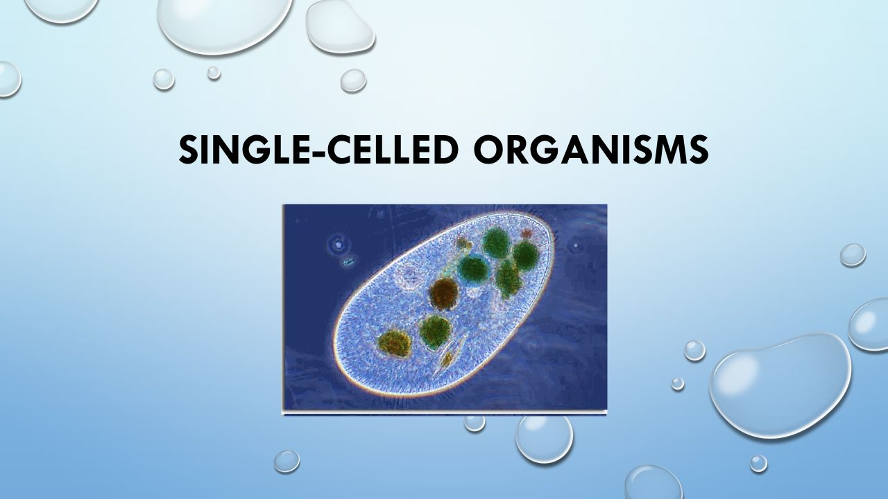 One Celled Organism >> Single Celled Organisms What Is A Single Celled Organism An
