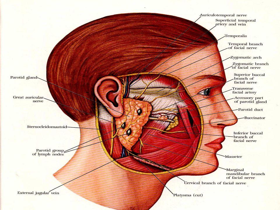 Anatomy of SCALP ppt video online download